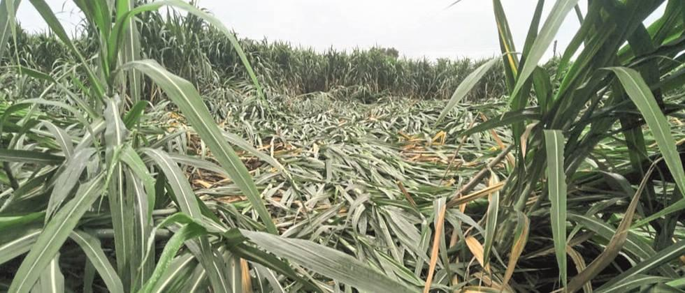 Heavy rains hit 17,000 hectares of crops in Sangli district