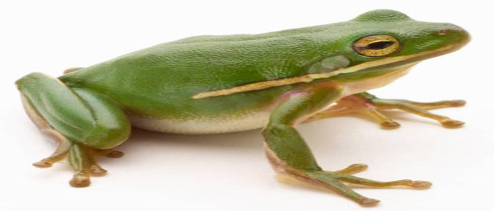 frogs are important in rice farming