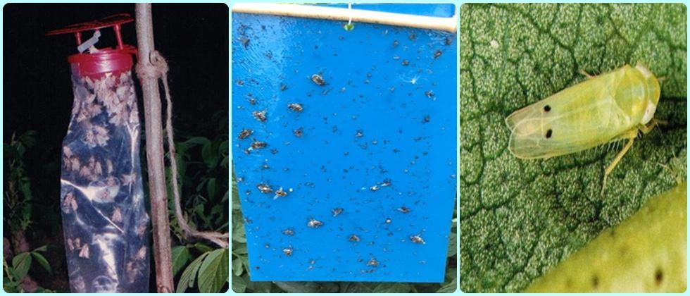 pest control for Exportable Okra production