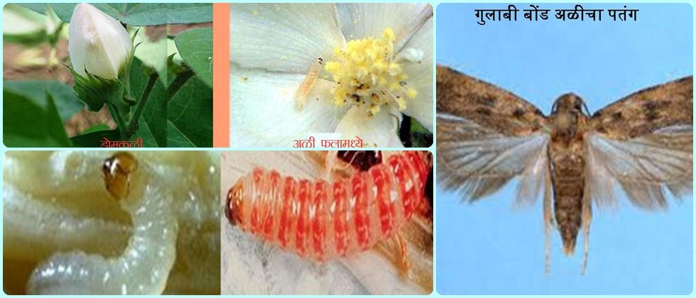 pink bollworm management in cotton