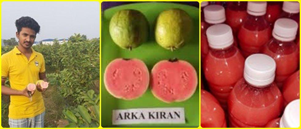 "Cultivating ""Arka Kiran"" Guava F१ Hybrid to Success"