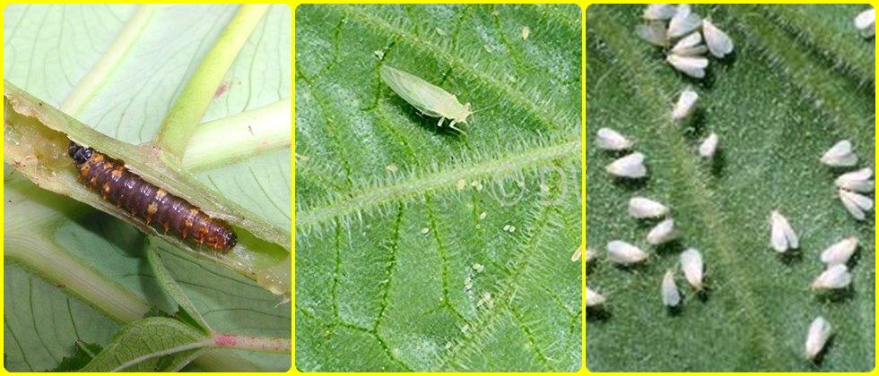 pest management in Okra
