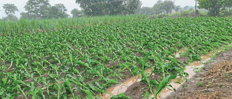 Loss of five lakh hectare crops in Pune division