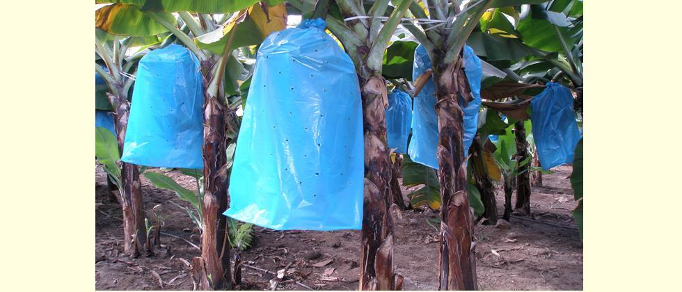 Use a perforated bag to cover the bunch of banana.