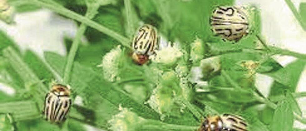 Zygogramma beetle available for carrot weed eradication