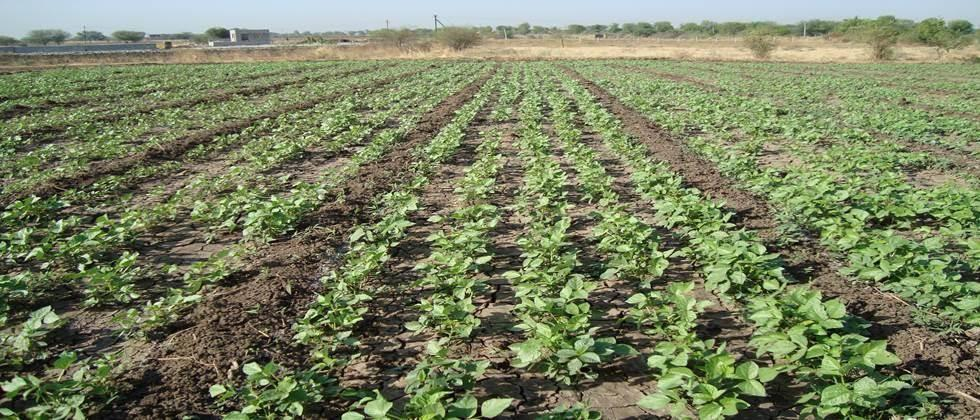 cultivation practices of green gram and black gram