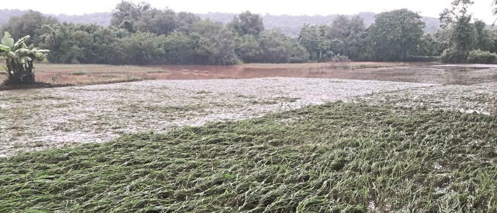 Thousands of hectares of paddy fields in Ratnagiri affected by floods