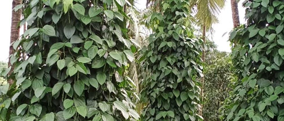black pepper cultivation
