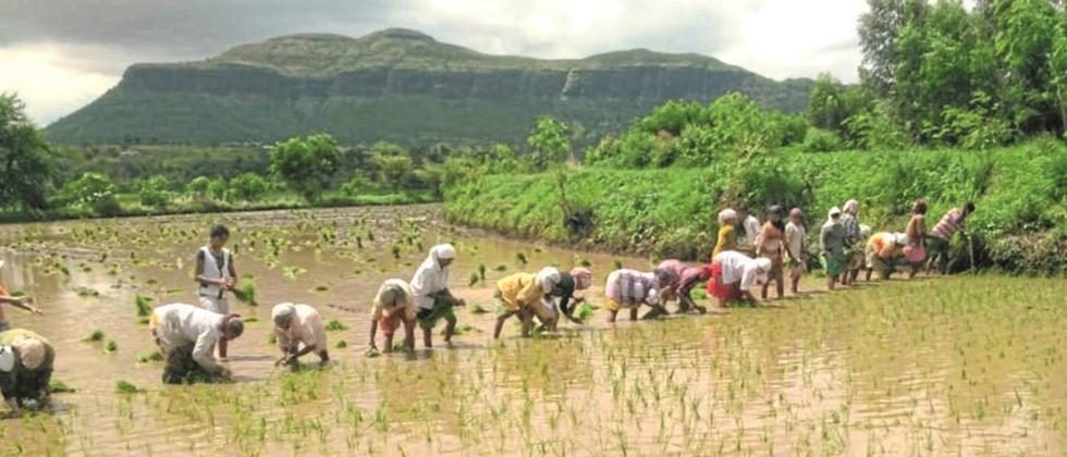 Paddy cultivation on protected water due to lack of rain
