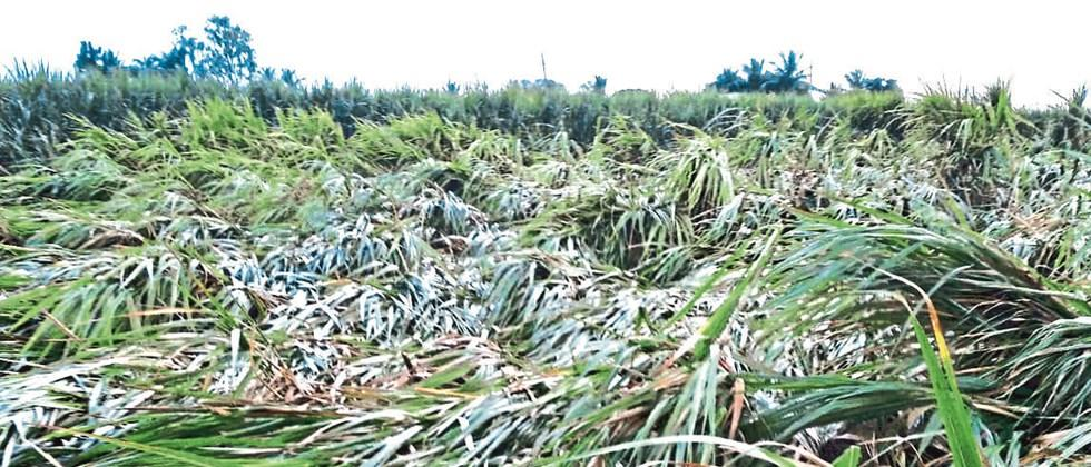 In Nevasa taluka, rains have destroyed crops