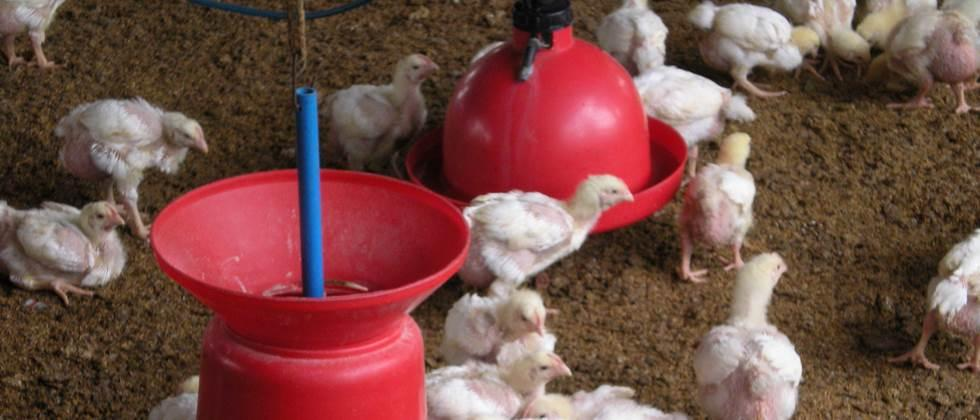 Chiplun's poultry industry in the forefront