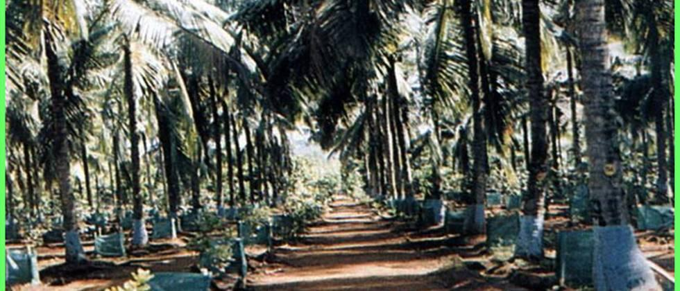 Intercropping of spice crops in coconut orchard