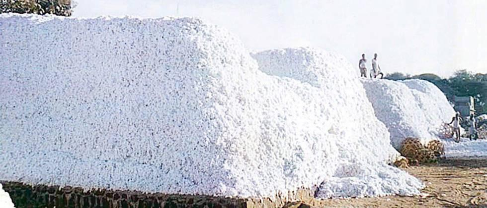 cotton procurement start from tomorrow