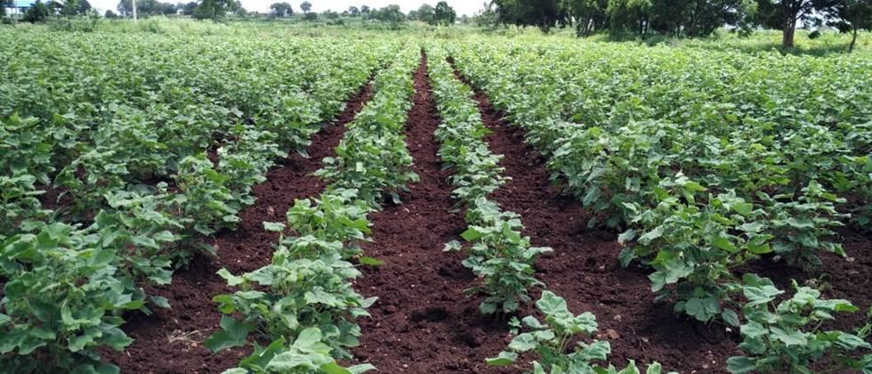 Cotton cultivation on over one lakh hectares in district