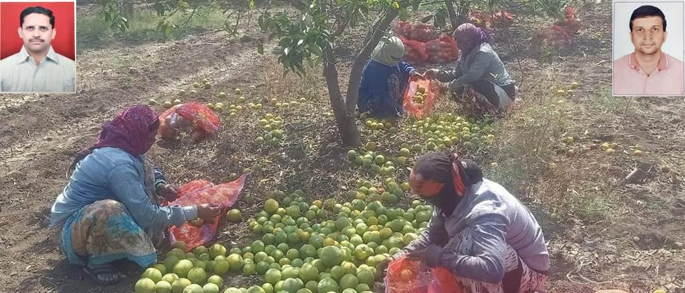 laborers harvested the citrus fruits by Following the social distancing rule