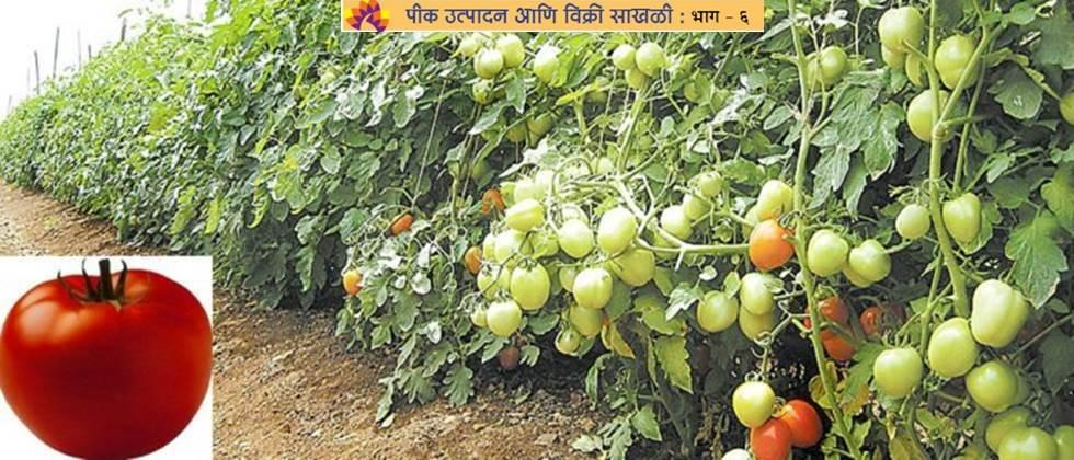 opportunities in the  exports and processing industry of Tomato