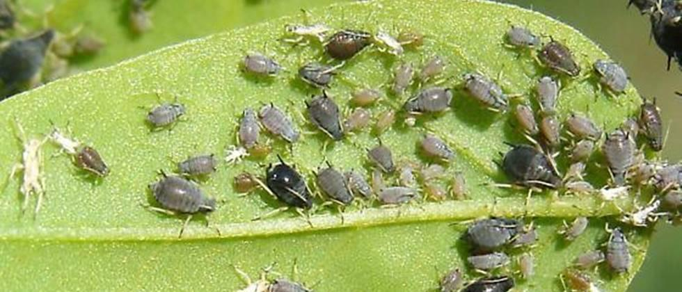aphids infestation
