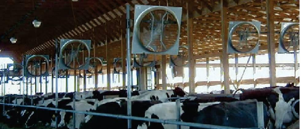 Large fans should be installed in the cow shed