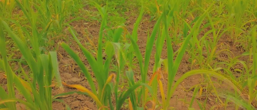 Crop trouble due to lack of rain in the rainy season