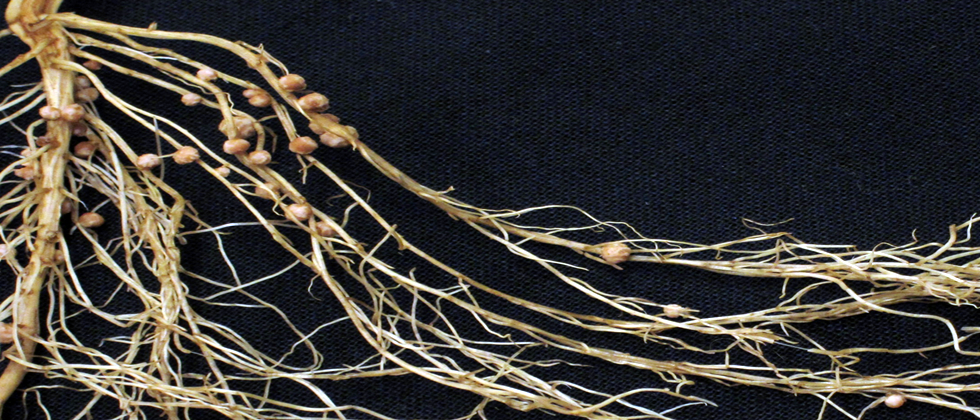 Crop breeding: Getting to the root of the problem