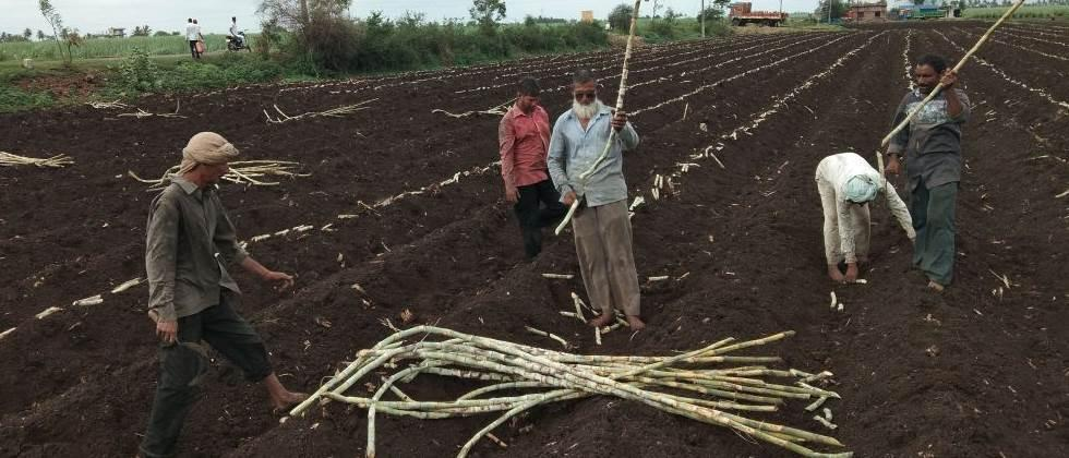 17% cultivation of Adsali sugarcane in Pune division