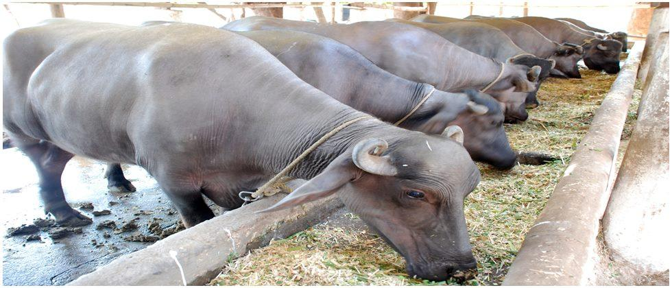 Use of bypass fat in the diet of cows, buffaloes