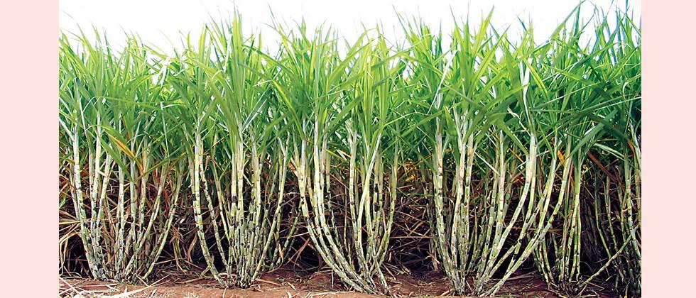 For higher sugarcane production, nutrients should be used as per the requirement of the crop