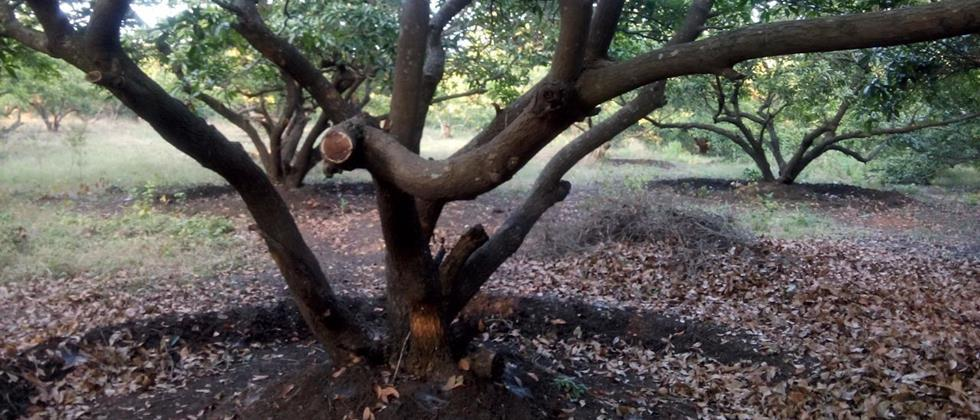 scientific pruning of sapota orchards