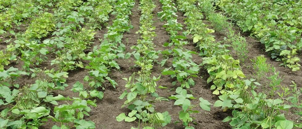 Cultivation of cotton and greem gram in the 1:2 ratio