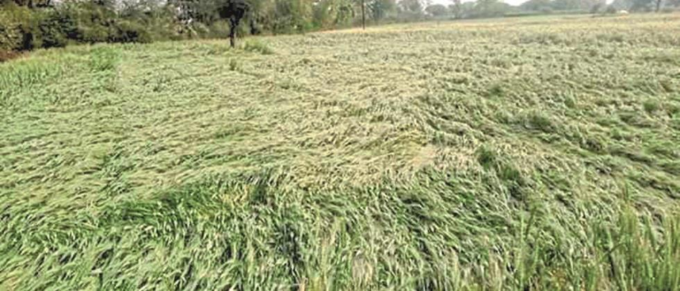 Untimely in Marathwada 33% crop damage