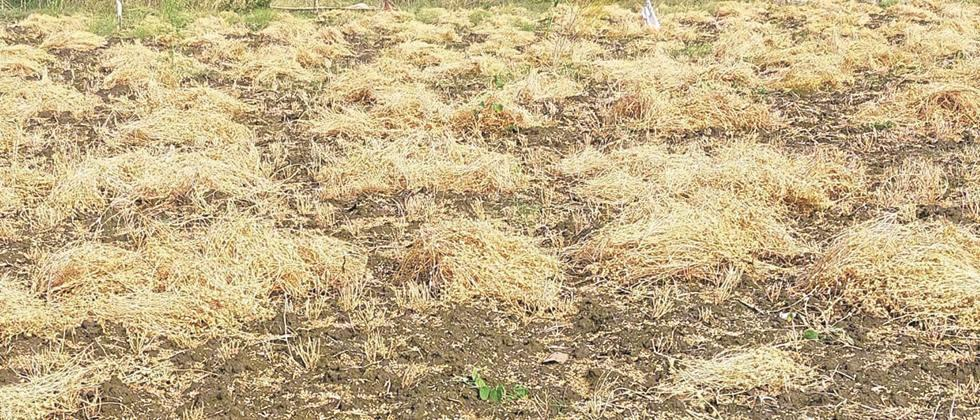 speed ​​of wheat, gram harvesting  in Jalgaon district