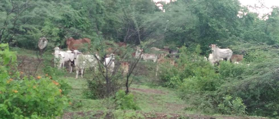 Major damage to crops by free animals in Paithan taluka