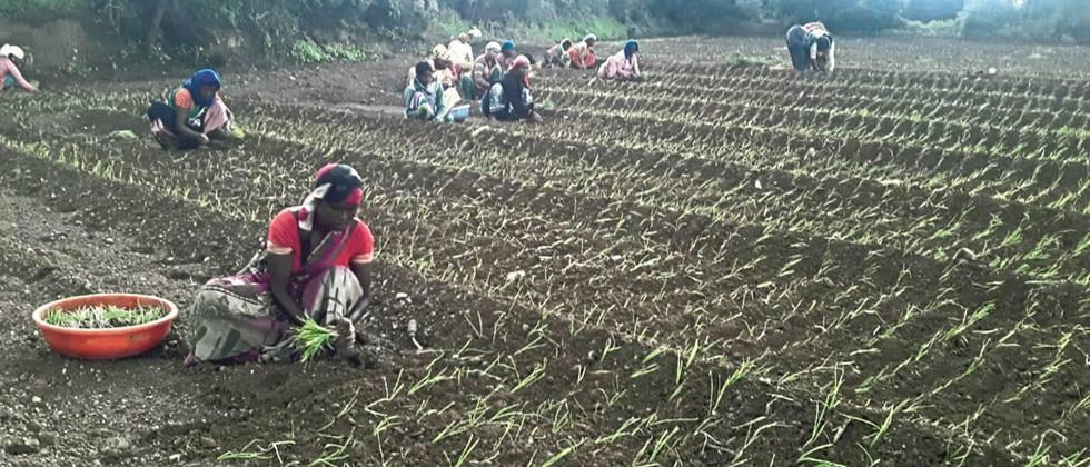 Rare cultivation of red onion started in Nashik district