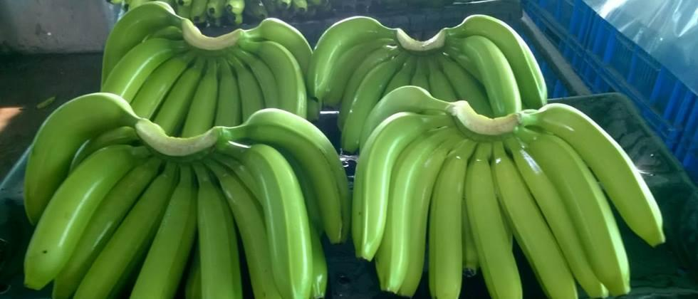 agriculture news in marathi Jalgaon banana exports to the Gulf