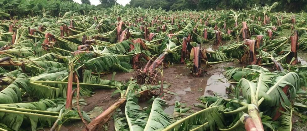 Farmers deprived of insurance cover for bananas in Jalgaon district