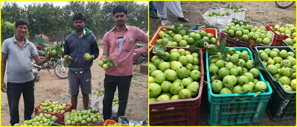 Quality guavas are sold directly from the garden.
