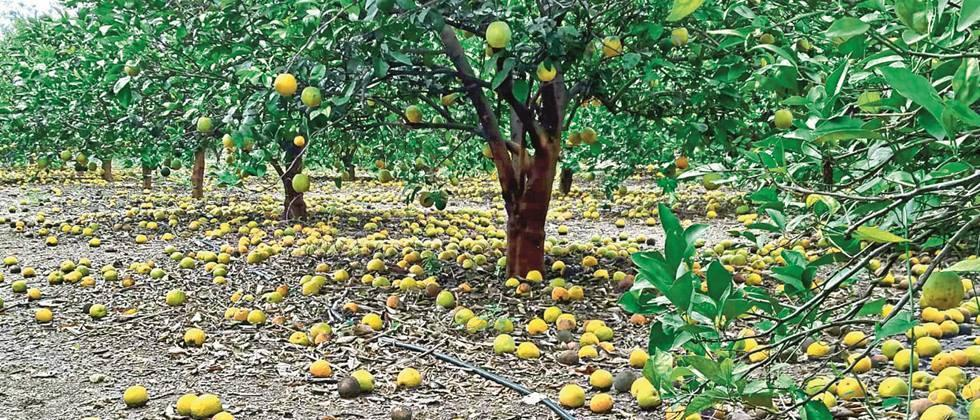 Fruit rot in citrus orchards in Ambad area