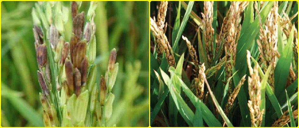 management of colorlessness disease in rice grains