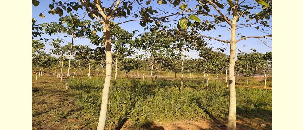 shivan cultivation useful in forestry