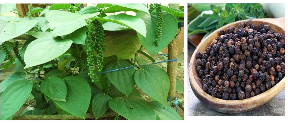 Management of spice crops