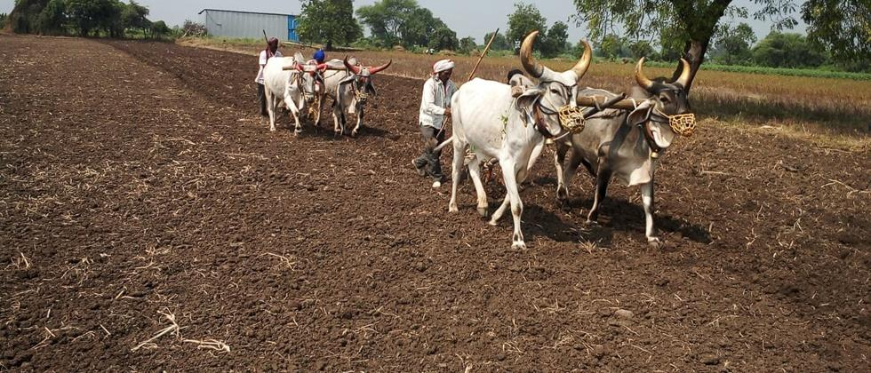 Rabbi sorghum sowing going to over in Khandesh