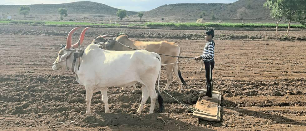 Rabi sowing in Satara district in final stage