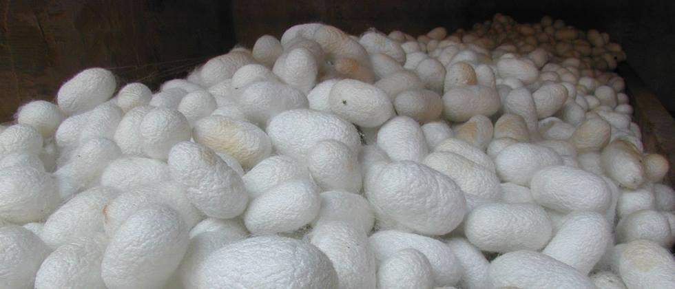 Farmers in Nanded, Parbhani, Hingoli district produce 348.54 tons of silk cocoons