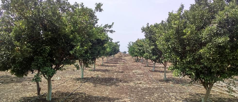Planning of citrus orchards cultivation
