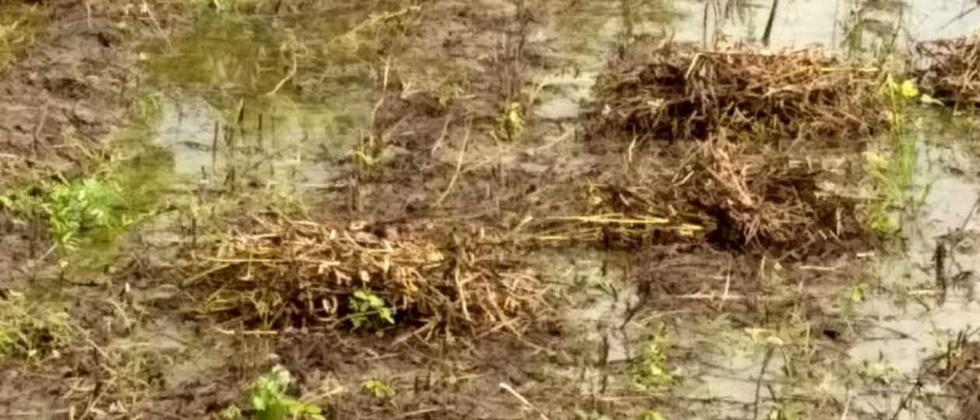 Crops leveled by rains in Khandesh