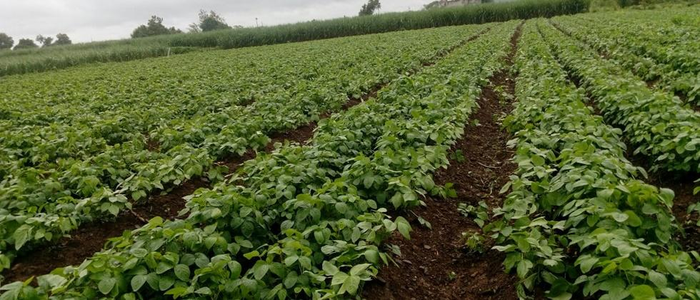 soyabean average Sowing on half area