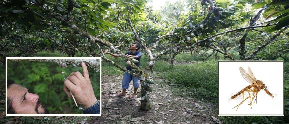 ,Hand pollination, not agrochemicals, increases cocoa yield and farmer income