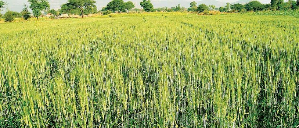 The highest number of wheat seed chaining in the Nagar district