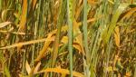 Climate change adversely affects crop production