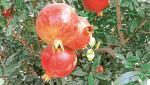 Pomegranate exports to Europe from Purandar taluka